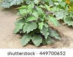 Eggplant New Fresh Green Plant...