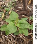 Small photo of fresh green Amaranthus viridis plants in nature garden