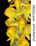 Small photo of Leather-Like Leafed Satyrium Orchid - Satyrium corrifolium From South Africa