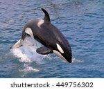 Killer Whale  Orcinus Orca ...