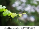 Grape Leaves With Dew Drop...