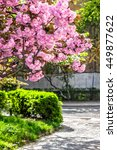 delicate pink flowers blossomed Japanese cherry trees on street blur background - stock photo