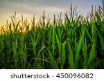 tall corn crop plants in sunset ... | Shutterstock . vector #450096082