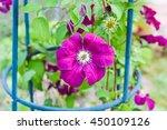 Bush Blooming Klimatis In The...