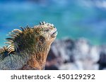 Face Of A Marine Iguana...