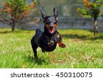 Stock photo happy dog german haired dwarf dachshund playing in the back yard running and jumping in the summer 450310075