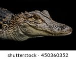 Portrait Of American Alligator...
