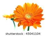 Orange gerbera flower isolated on white background - stock photo