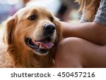 Stock photo dog breed a golden retriever about a bench with the girl at her legs 450457216