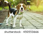 Beagle Puppy Standing On The...