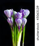 Violet and white striped crocus - stock photo