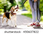 Stock photo young woman walking with beagle dog in the summer park 450637822