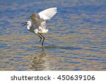 White Bird Heron Flying  Littl...