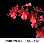 Red Orchid On Black Background