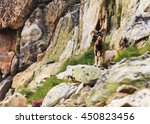 Wild Mouflon