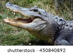 An Alligator Is A Crocodilian...