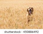 Golden Retriever Dog In Wheat...