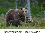Bear Cubs With Their Mother Sh...