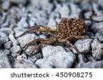 Female Wolf Spider With Babies