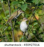 Red Eyed Vireos