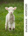 Cute Spring Lamb In A Lush...