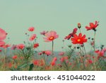 pink cosmos flowers with sky   Shutterstock . vector #451044022