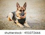 Small photo of Brown German Sheepdog Sitting On Ground. Guard Dog, Police Dog