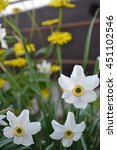 Small photo of Narcissus. Narcissus poeticus actaea. Bushes narcissus flowers on blurred background. Yellow daisies in the background. Close-up. Vertical photo. Card
