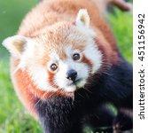 Small photo of The Red Panda, Firefox or Lesser Panda (Ailurus fulgens)
