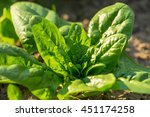 Spinach Growing In Garden....