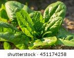 Spinach Growing In Garden....