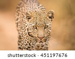 leopard starring at the camera... | Shutterstock . vector #451197676