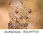leopard starring at the camera... | Shutterstock . vector #451197715