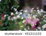 Close Up White Aster Flower In...
