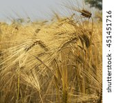 Small photo of barley field background (agriculture, agronomy, industry)