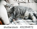 Stock photo british fat cat lounging on the sofa asleep cat look focus on the eyes vignetting conceived as 451594972
