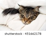 brown tabby maine coon cat who... | Shutterstock . vector #451662178