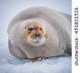 Small photo of Curly whiskers of bearded seal of the Artic