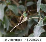 Small photo of Beautiful Snowy-bellied or snowy-breasted hummingbird (Amazilia edward)