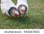 Light Brahma Chickens.