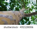 platan trunk from the bottom up ...   Shutterstock . vector #452128306