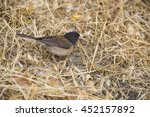 dark eyed junco male picking... | Shutterstock . vector #452157892