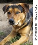 Small photo of Rottweiler Alsatian Mix lying down