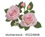 pink roses on a white background | Shutterstock . vector #45224848