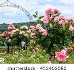 Stock photo a row of pink standard roses in a garden 452403082