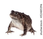 Small photo of Eastern olive toad, Amietophrynus garmani, isolated on white background