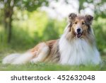 Cute Gold Rough Collie With...