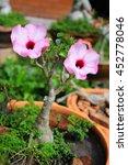 Small photo of Adenium obesum (Desert Rose; Impala Lily; Mock Azalea) in flowerpot.