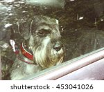 Mittel Schnauzer Dog Left Alon...