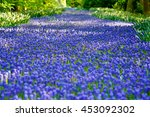 Purple Daffodils Like A River ...